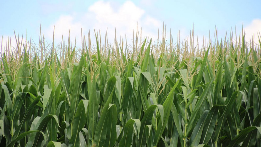 corn20180619-16
