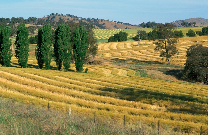 Canola crop during harvest on farm near Binalong, NSW, also shows trees in landscape. (Source: Gregory Heath).