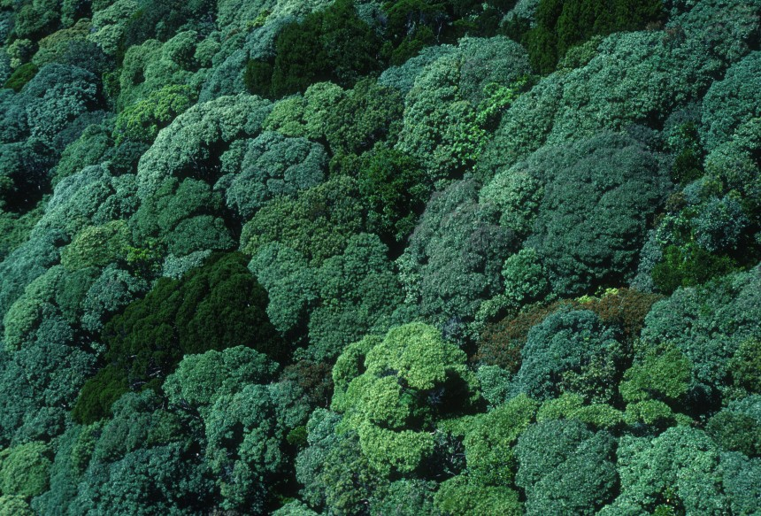 Aerial of rainforest canopy. Bellenden Ker, North Queensland. November 1989. (Source: Robert Kerton)