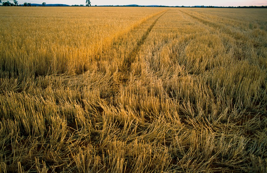 Wheat stubble near Ardlethan, NSW. (Source: Gregory Heath, 2002)