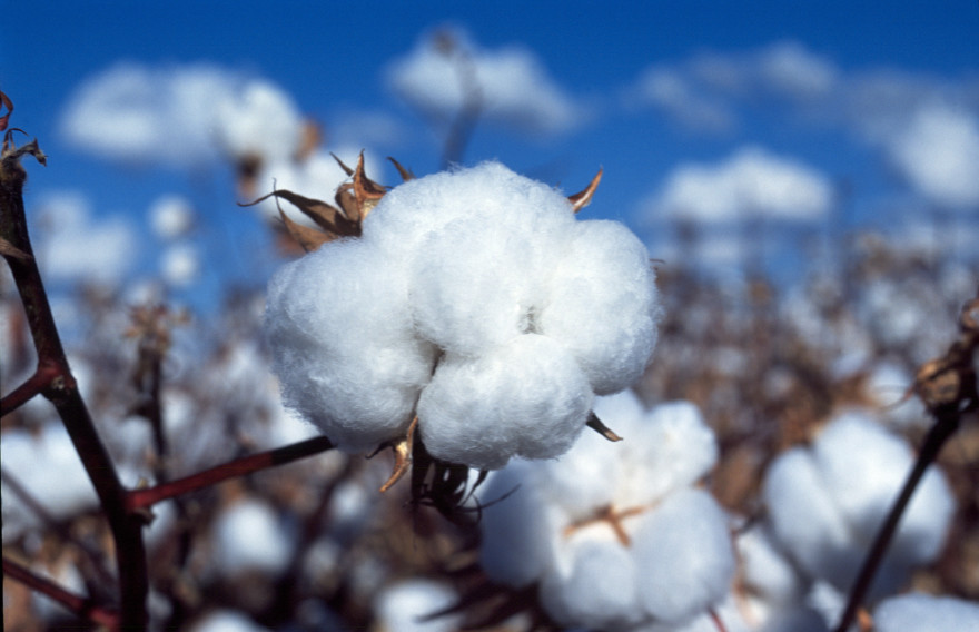 Cotton at Narrabri, NSW. (Source: Jane Kahler)