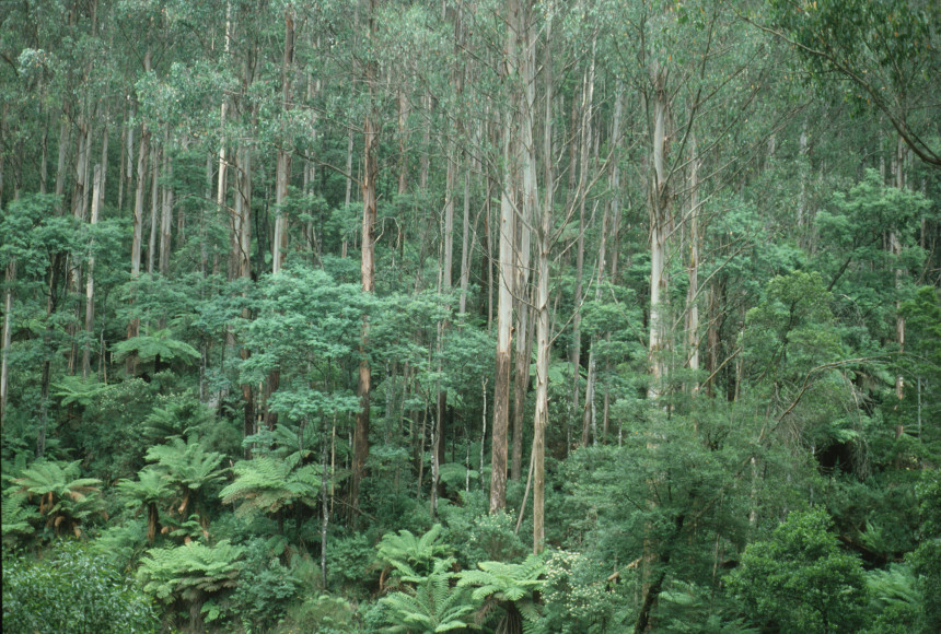 MountainAshTrees_CSIRO