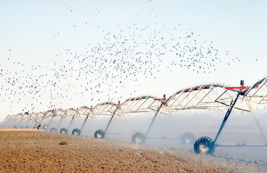 Travelling irrigator spraying water attracts birdlife near Hay, NSW. 1991. (Source: W. Van Aken, 1991)