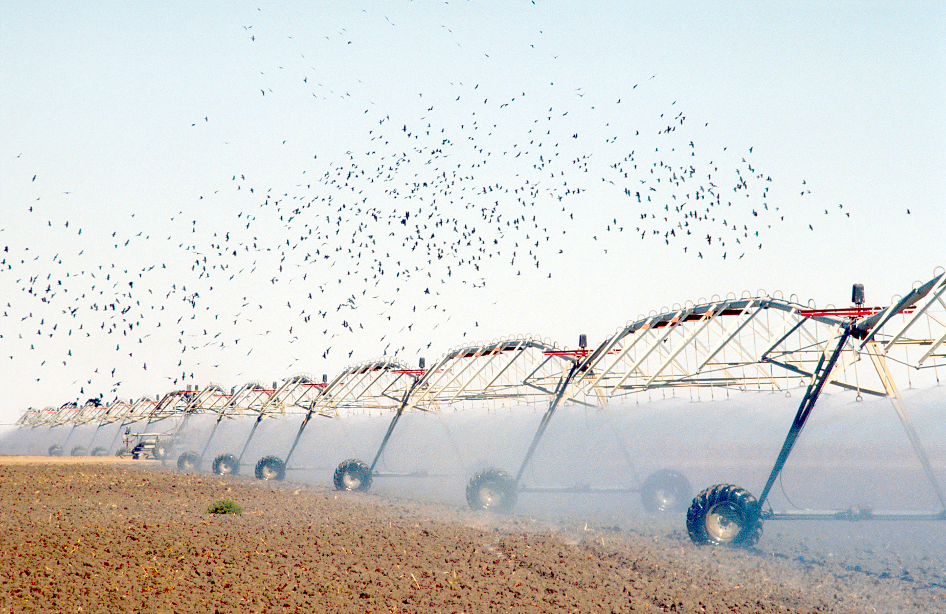 Travelling irrigator spraying water attracts birdlife near Hay, NSW. 1991. (Source: W. Van Aken, 1991)