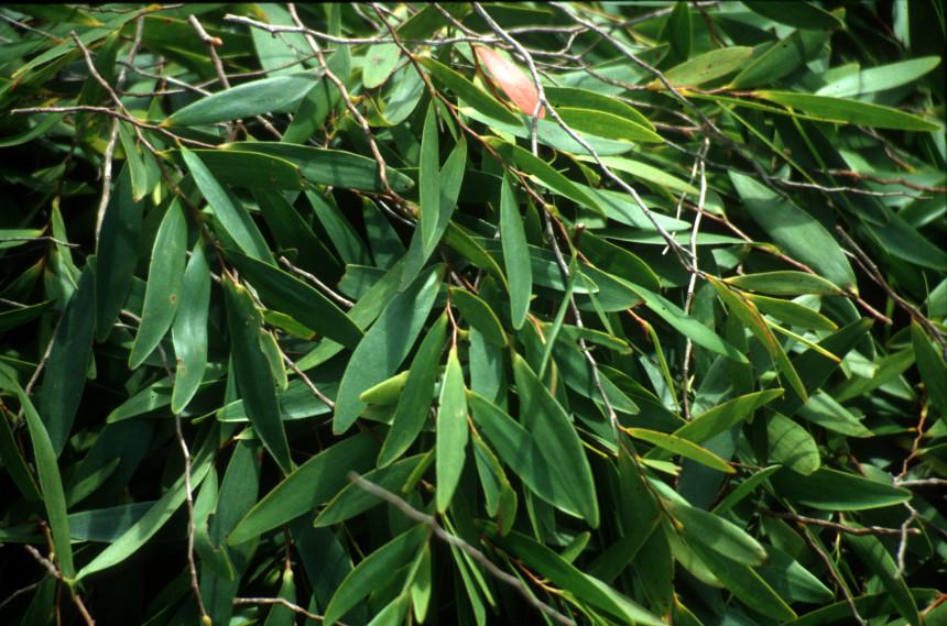 Eucalyptus_Kerton2001