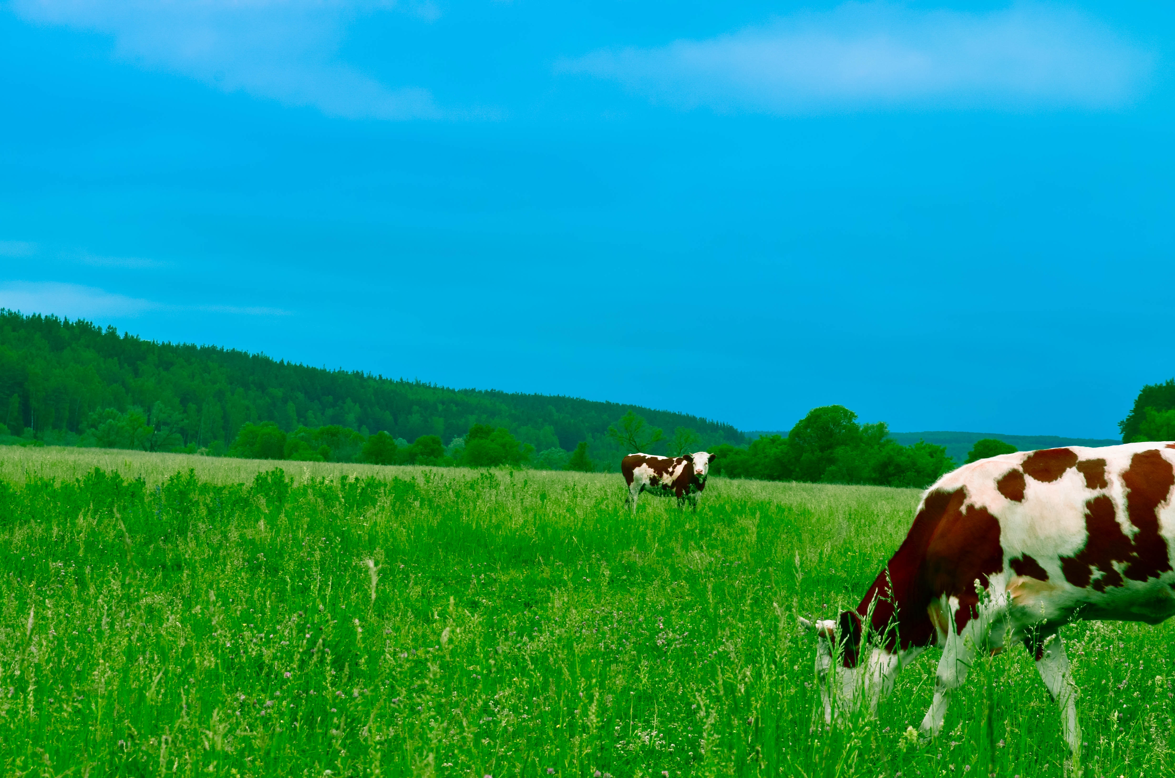 cows-grazing-on-field-against-sky-254178