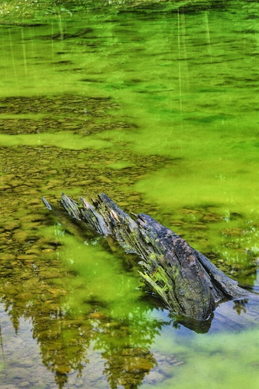 Algal Bloom in a pond